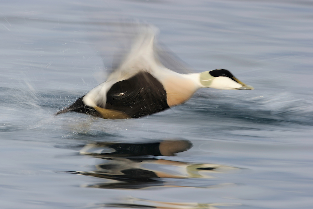 Eurasian eider duck male, Somateria mollissima, Båtsfjord village harbour, Varanger Peninsula, Norway, Scandinavia