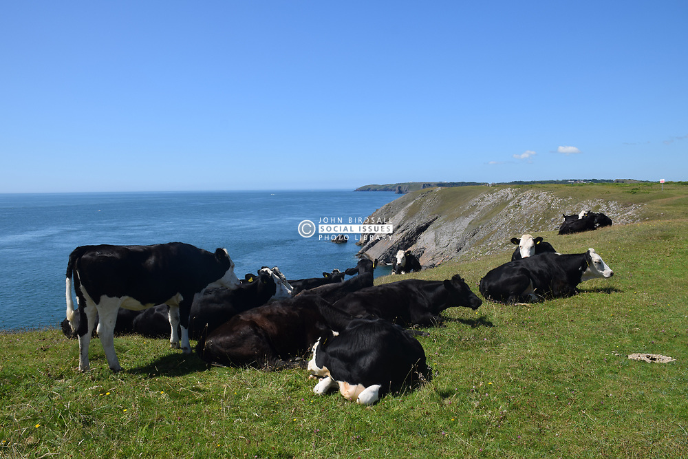 Cows in clifftop field, Pembrokeshire, South Wales 2021