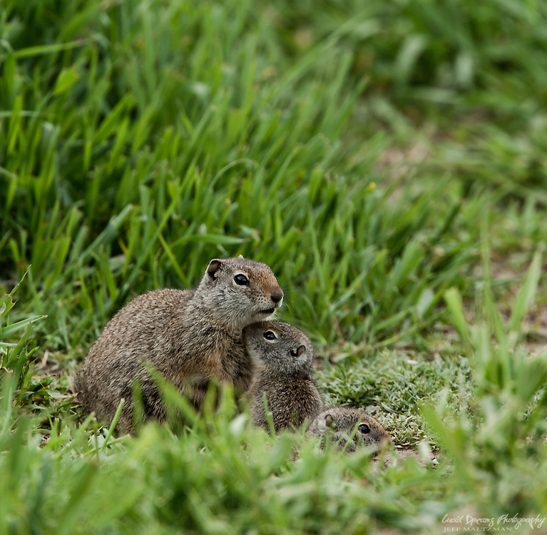 Prairie dog families enjoy the afternoon sun in the meadows of Antelope Flats, Grand Teton National Park