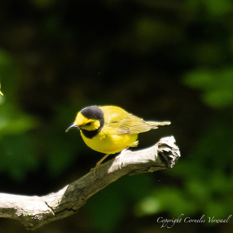 A Hooded Warbler in The Ravine in Central Park today May 11, 2021.