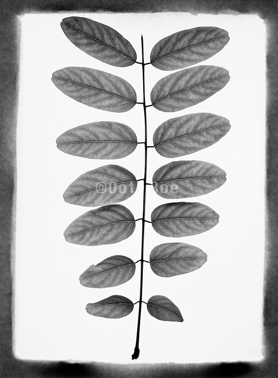 Single branch with rows of leaves against a white background