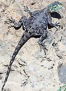 Female Kenyan rock agama (Agama lionotus) suns itself on a rock. Sanya Juu, Boma Ngombe, Tanzania.
