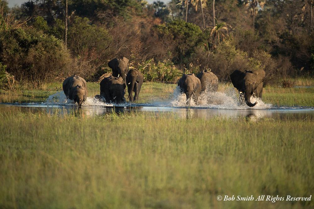 Elephants run thru a small stream at Tubu Tree Camp, Botswana.