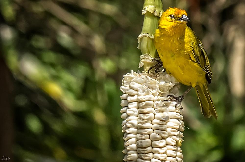 A saffron Finch sitting on an ear of white corn at the Equator in Ecuador.