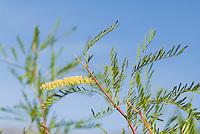 Honey mesquite, Prosopis glandulosa. Wildrose Canyon, Death Valley National Park, California
