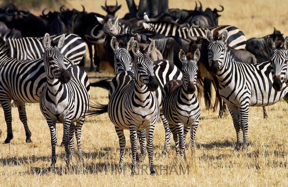 A herd of Common Plains Zebra (Grant's) Grumeti, Tanzania