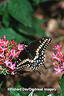 03009-009.07 Black Swallowtail (Papilio polyxenes) on Pink Pentas (Pentas sp.) Marion Co.  IL