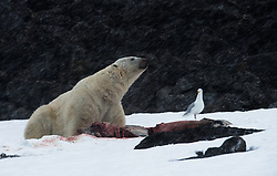 Polar Bear (Ursus maritimus) eating on a dolphin carcass in Spitsbergen, Svalbard