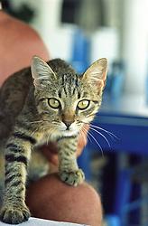 kitten found in Santorini, Greece