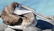 A Galápagos Brown Pelican (Pelecanus occidentalis urinator) relaxing with its bill and pouch resting on its neck. This bird is seen as a subspecies, endemic to Galapagos, of the Brown Pelican (Pelecanus occidentalis). Puerto Baquerizo Moreno, San Cristobal, Galapagos, Ecuador.