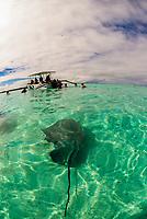 Swimming with stingrays off the island of Bora Bora, Society Islands, French Polynesia.