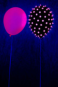 A pink balloon is dangerously closse to a black balloon covered with glowing thumbtacks. Blacklight photography.