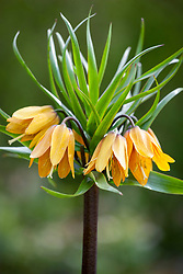 Fritillaria imperialis 'Early Wonder' - Crown imperial fritillary