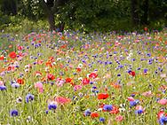 Poppy Field in Fenwick, CT