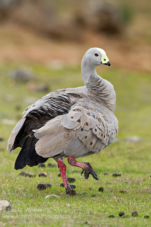 Cape Barren Goose (Cereopsis novaehollandiae) - Kangaroo Island, Australia