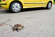 Car drives past dead hedgehog on country road, Swinbrook, Oxfordshire, United Kingdom