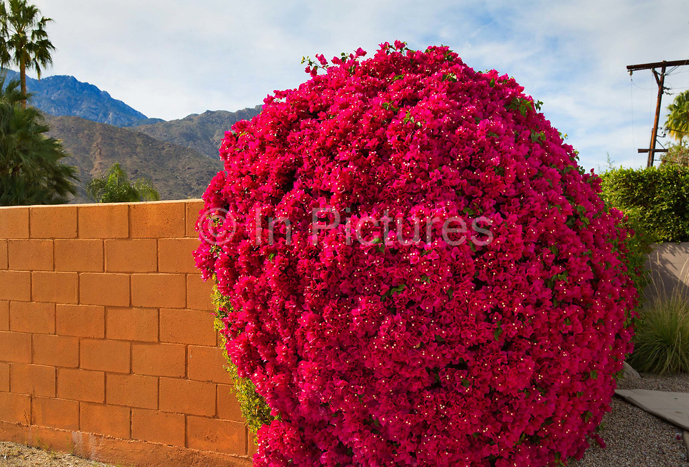 Well watered garden bougainvillea growing on a wall in Palm Springs California