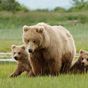 Brown bear, mother and cubs grazing on sedge flats in Katmai National Park, Alaska.