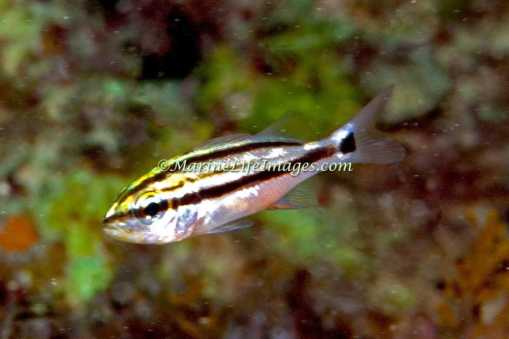 Spanish Grunt, juvenile, inhabit reefs in Tropical West Atlantic; picture taken Panama.
