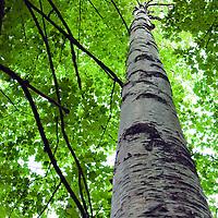 Lonely birch tree, Maine.