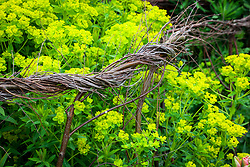 Euphorbia palustris AGM with woven birch plant support. Marsh spurge