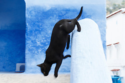 Black cat jumping off wall, Chefchaouen, Morocco