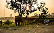 1st May 2014, Yamuna River, New Delhi, India. A mahout throws a bundle of grass towards a tethered elephant in the late afternoon while another relaxes on a bench near a bridge over the Yamuna River, New Delhi, India on the 1st May 2014<br /> <br /> Elephant handlers (Mahouts) eke out a living in makeshift camps on the banks of the Yamuna River in New Delhi. They survive on a small retainer paid by the elephant owners and by giving rides to passers by. The owners keep all the money from hiring the animals out for religious festivals, events and weddings, they also are involved in the illegal trade of captive elephants. The living conditions and treatment of elephants kept in cities in North India is extremely harsh, the handlers use the banned 'ankush' or bullhook to control the animals through daily beatings, the animals have no proper shelters are forced to walk on burning hot tarmac and stand for hours with their feet chained together. <br /> <br /> PHOTOGRAPH BY AND COPYRIGHT OF SIMON DE TREY-WHITE<br /> + 91 98103 99809<br /> email: simon@simondetreywhite.com photographer in delhi