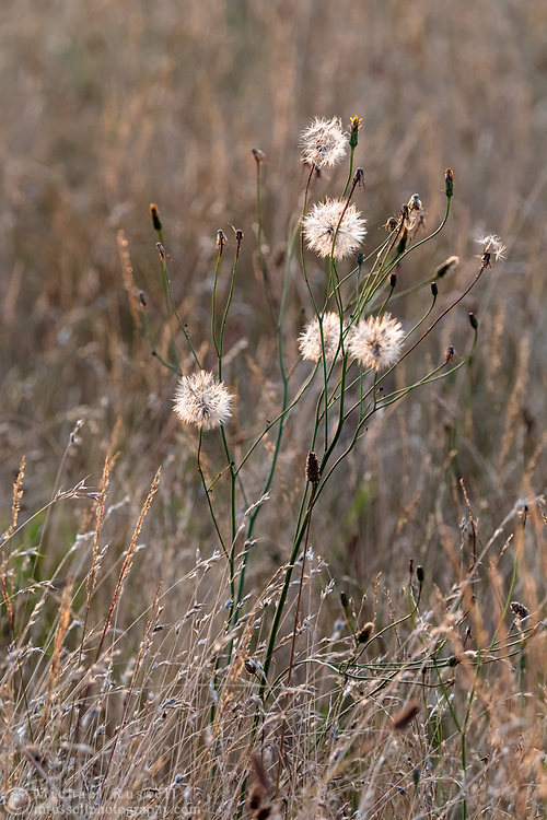 Hawksbeard (Crepis sp.) seed heads backlit by sunset light in a meadow.  Photographed at Blackie Spit in Surrey, British Columbia, Canada