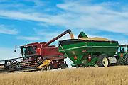 Unloading durum wheat into grain cart<br /> Carmichael<br /> Saskatchewan<br /> Canada