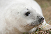 Grey Seal pup, Close up of face, Halichoerus grypus, Donna Nook National Nature Reserve, Lincolnshire, UK, meaning hooked-nosed sea pig, true seal, gray, breeding colony,