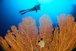 Lakkadiven See, Annella mollis, Subergorgia mollis, Korallenriff mit Riesengorgonie und Taucher, Coralreef with Giant Sea Fan, and scuba diver, Indischener Ozean, Maradhoo, Gan, Addu Atoll, Malediven, Asien, Laccadive Sea, Maldives, Indian Ocean, Asia
