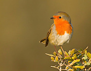 European Robin (Erithacus rubecula), Israel, winter, November