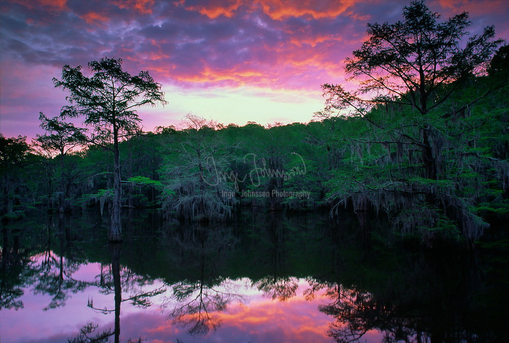 Cypresses reflected in Sawmill Pond in Caddo Lake state park at dawn