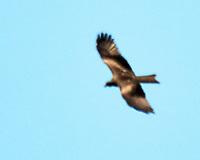 Black Kite. Parque Nacional de Donana. Image taken with a Nikon N1V2 camera, FT1 adapter, and 80-400 mm VR lens.