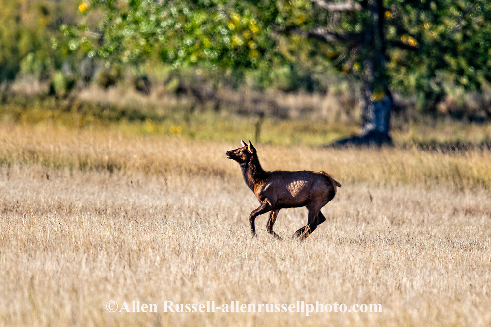 Elk, calf, running, Charles M Russell National Wildlife Refuge, Montana