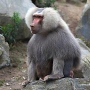 A Hamadryas baboon  on display at Wellington Zoo Daniell Street, Newtown, Wellington, New Zealand, 2011, Photo Tim Clayton