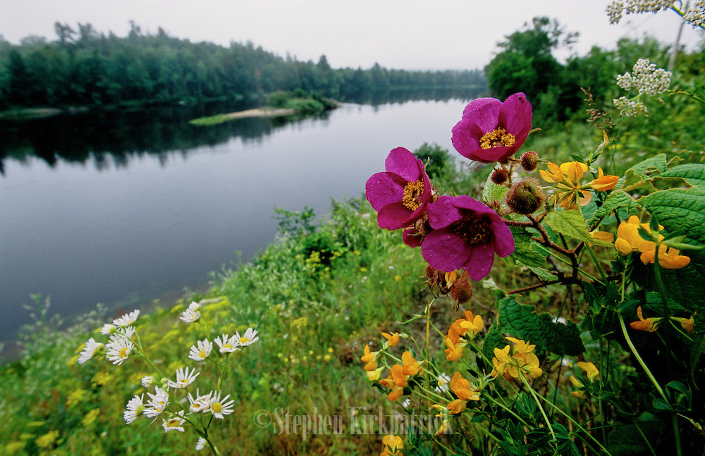 Wildflowers on Gatineau River - Quebec, Canada