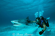 shark wrangler, Mike Braun, swims with a tagged and released tiger shark, Galeocerdo cuvier, during University of Miami shark research project, Bimini, Bahamas, ( Atlantic Ocean ) MR 319