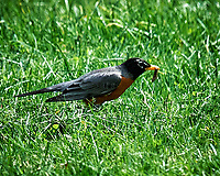 American Robin got a worm. Image taken with a Nikon D4 camera and 600 mm f/4 VR lens.
