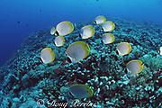 panda butterflyfish, Chaetodon adiergastos, Layang Layang Atoll, Malaysia ( South China  Sea )
