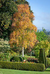 Betula ermanii - Gold birch -  with autumn colour at Pettifers.