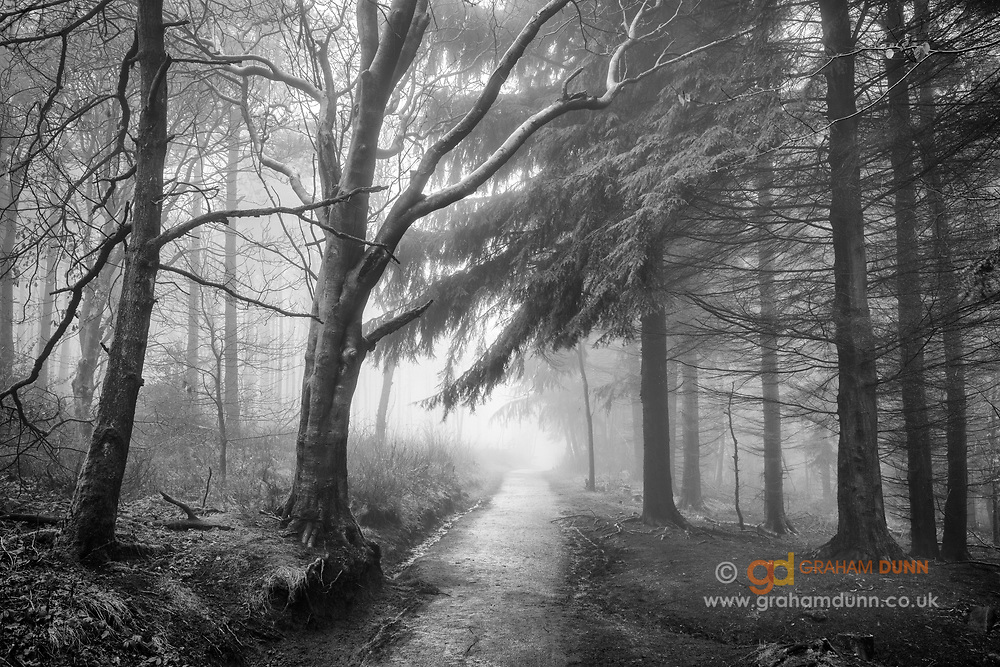 Heavy fog infiltrates the deeper reaches of Lady Canning's Plantation, Sheffield, on the boundary of the Peak District National Park. Such conditions leading to an atmospheric and somewhat mysterious image as we see the tree lined path disappear into the depths of the woodland. Winter in South Yorkshire. January.
