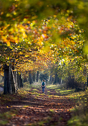 © Licensed to London News Pictures. 07/11/2020. Great Bookham, UK. A walker enjoys the warm sunshine on an autumnal walk near Polesden Lacy in Great Bookham, Surrey. Photo credit: Peter Macdiarmid/LNP