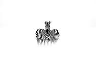Two zebras merge and transform into a unicorn in the Maasai Mara, Kenya.
