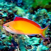 Redfin Anthias inhabit reefs often along the upper edge of steep slopes. Picture taken Ambon, Indonesiai.