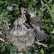 Mistle Thrush Turdus viscivorus - at nest. L 27cm. Appreciably larger than Song Thrush. Unobtrusive but has distinctive call and song. Sexes are similar. Adult has grey-brown upperparts with hint of white wingbar. Underparts are pale with large dark spots and flanks are washed orange-buff. In flight, note white underwings and white tips to outer tail feathers. Juvenile is similar but back has white, teardrop-shaped spots. Voice Utters a loud, rattling alarm call. Song contains brief phrases and long pauses; often sung in dull weather. Status Fairly common resident of open woodland, parks and mature gardens.