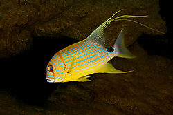 sailfin snapper or blue-lined sea bream, Symphorichthys spilurus, Indo-Pacific Ocean (c)