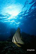 longfin spadefish, tiera batfish, or roundface batfish, Platax teira, Richelieu Rock, Surin Islands, Thailand <br /> ( Andaman Sea, Indian Ocean )