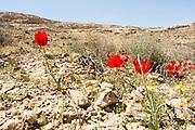 Tulip (tulipa systola) red spring flowers in the desert, Negev desert, Israel