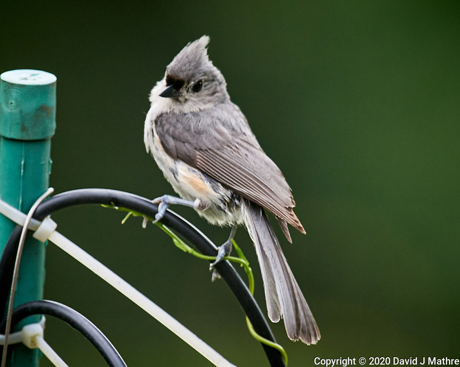 Tufted Titmouse Image taken with a Nikon D5 camera and 600 mm f/4 VR lens